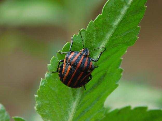 写真: 虫DSCN6674 アカスジカメムシ
