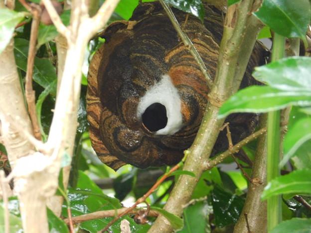 スズメバチの巣DSCN7218