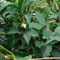 ビナンカズラ雌花DSCN7542