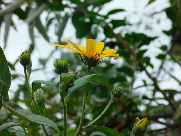 キクイモ開花DSCN9339