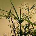 DSCN9231シュロガヤツリ