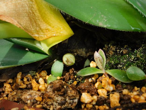 マユハケオモト植替え0子と蕾と花芽かDSCN0124
