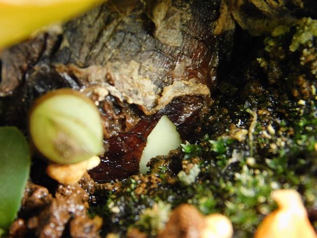 マユハケオモト植替え3花芽かDSCN0135