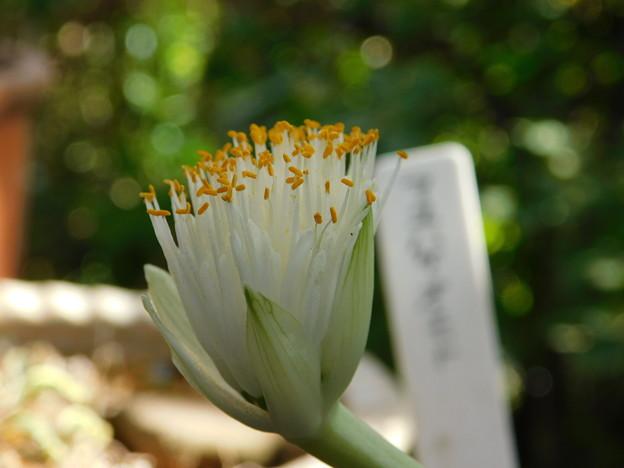 マユハケオモトDSCN0185