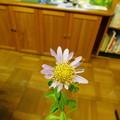写真: DSCN0713ハマベノギクか ダルマギクX