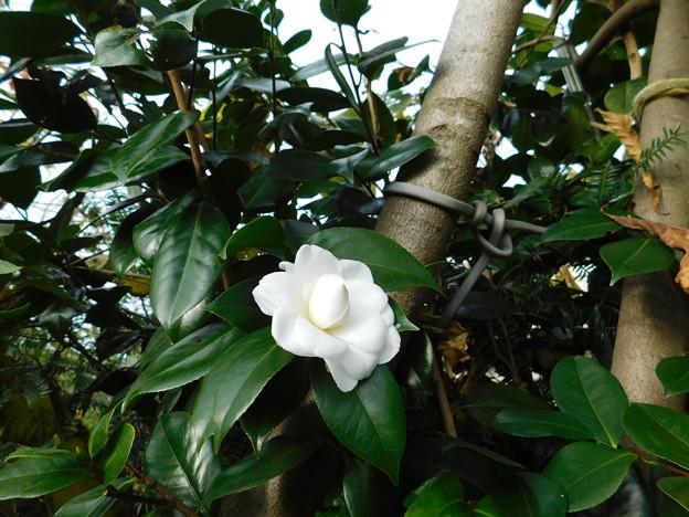 ツバキ白八重開花DSCN1661