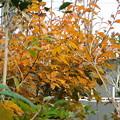 ヤマコウバシ紅葉DSCN1665