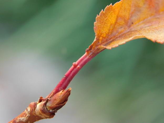 梅YO2-013から桜の枝が出たDSCN4719