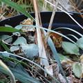 シモバシラ鉢植え棚DSCN4776