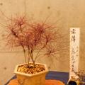 写真: DSCN4915錦糸南天