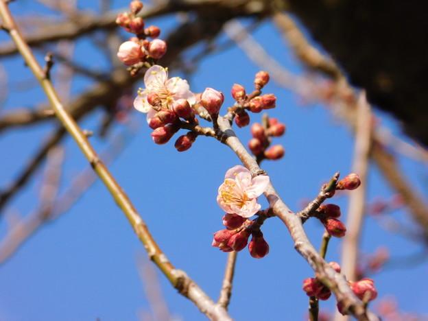 紅冬至TU2-008秋篠宮DSCN5929