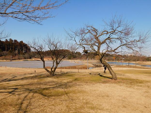 紅冬至TU2-008秋篠宮と右紅千鳥TU2-007妃殿下DSCN5931
