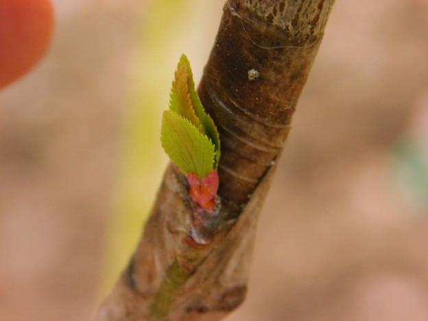 斑入り梅接木クロロシスA4-031白加賀DSCN0116