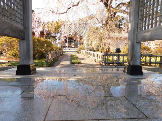 DSCN0733安国寺枝垂れ桜