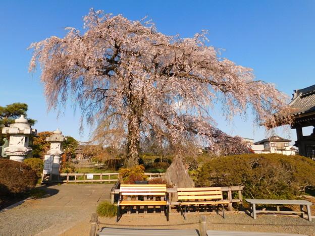DSCN0738安国寺枝垂れ桜