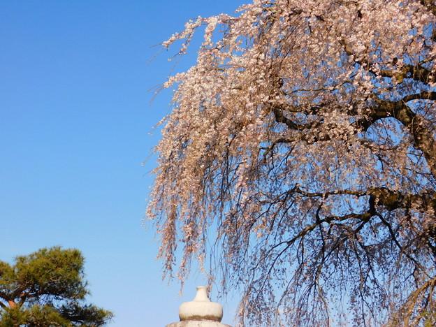 DSCN0743安国寺枝垂れ桜