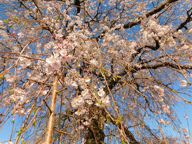 DSCN0746安国寺枝垂れ桜