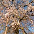 Photos: DSCN0746安国寺枝垂れ桜