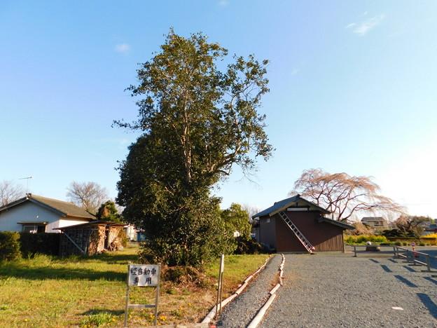 DSCN0761安国寺ツバキと桜