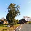 Photos: DSCN0761安国寺ツバキと桜