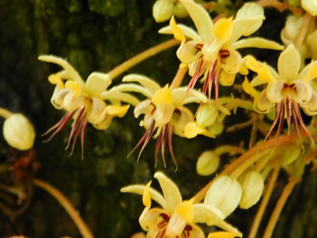 DSCN5161カカオ・筑波実験植物園