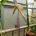 Photos: DSCN5176arisaema fimbriatum・筑波実験植物園