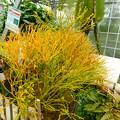 Photos: DSCN5187マツバラン目・筑波実験植物園