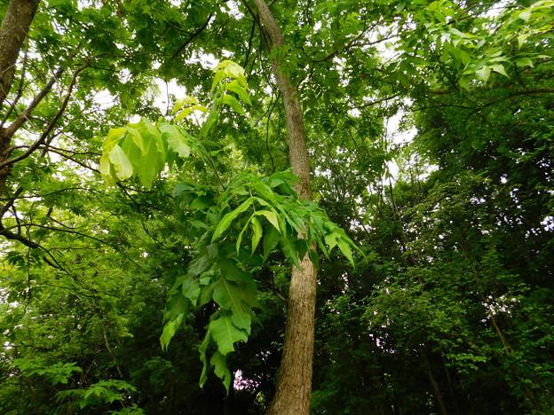 DSCN5251Carya illinoensisペカン・筑波実験植物園