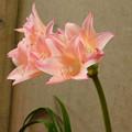 Photos: アフリカハマユウ園芸種(Crinum ×powellii)DSCN7017