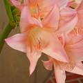 Photos: アフリカハマユウ園芸種(Crinum ×powellii)DSCN7019