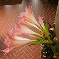 Photos: アフリカハマユウ園芸種(Crinum ×powellii)DSCN7020