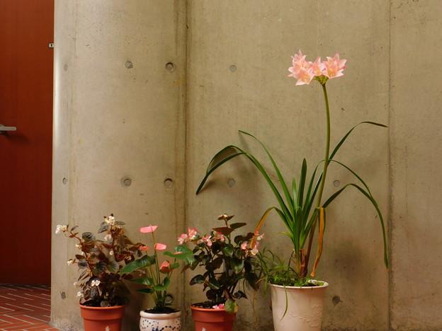 アフリカハマユウ園芸種(Crinum ×powellii)DSCN7022