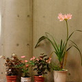 Photos: アフリカハマユウ園芸種(Crinum ×powellii)DSCN7022