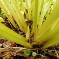 ナガサキギボウシ花芽DSCN7294