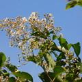 Photos: シマサルスベリ実生早咲き種の最後DSCN8438