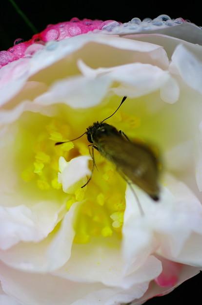 写真: 花の妖精<ちょっぴり毛深い・・・>