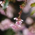 冬桜(2)