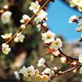 写真: 遅咲きの我が家の梅も!