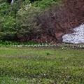 残雪とミズバショウ