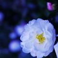 写真: 夕暮れ山茶花~