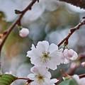写真: ご近所の10月桜~(^▽^)/