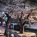 Photos: 夜桜2019(2)