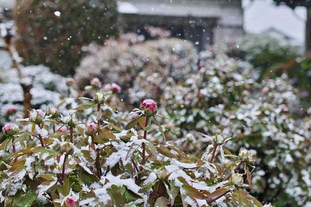 牡丹雪!平成最後の雪