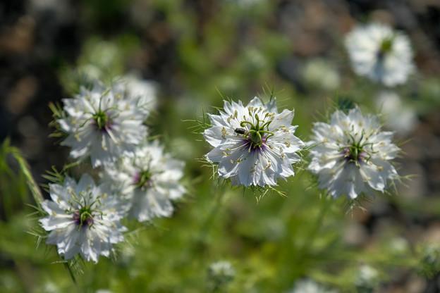 White Arrowflowers