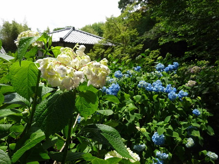 190604-05白い紫陽花