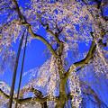 黄昏の枝垂れ桜