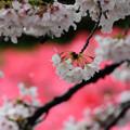 Photos: 赤バックの雨桜