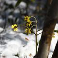 写真: 雪中花