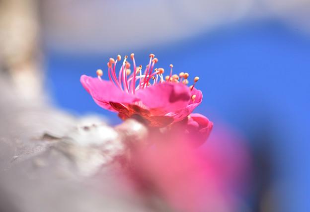 庭の紅梅1