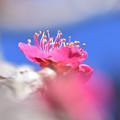 写真: 庭の紅梅1